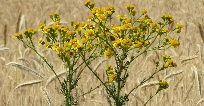 Starzec jakubek, Lasy Państwowe, Jacobaea vulgaris