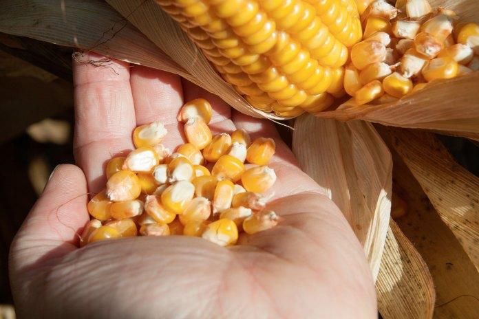 Optymalny termin zbioru kukurydzy