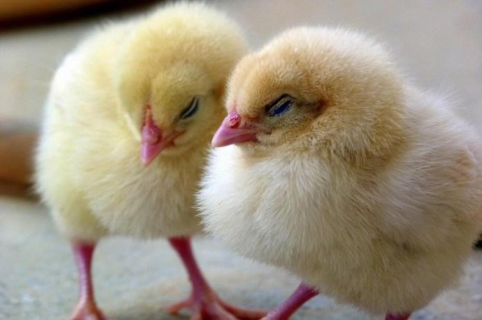Zasady ochrony drobiu przed grypą ptaków