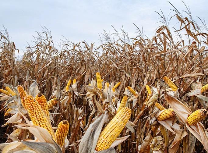 Początek żniw kukurydzianych