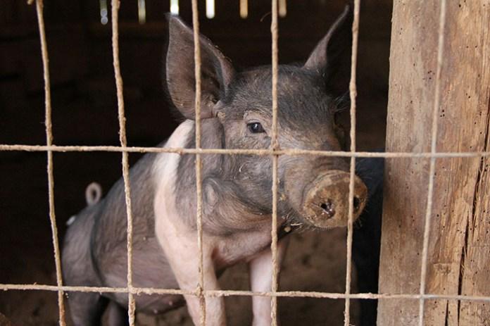 Kraje UE popierają stopniowe wycofywanie hodowli klatkowej, mają jednak pewne zastrzeżenia