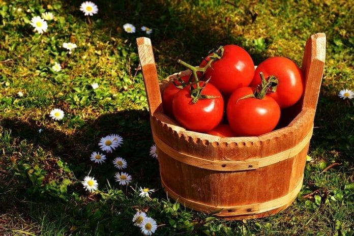 rolnik, rolnictwo, produkcja pomidorów, ceny pomidorów, AgroTydzień, BGŻ BNP Paribas,