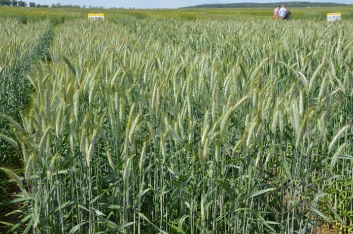 Centralny Ośrodek Badania Odmian Roślin Uprawnych, COBORU, pszenżyto, psznżyto jare, plonowanie pszenżyta, jak plonowało pszenżyto jare