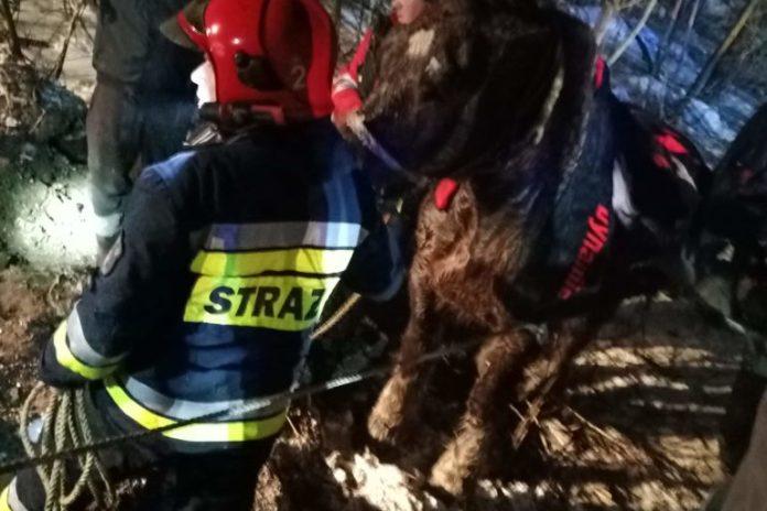 Pod pracującym przy wyciąganiu drewna z lasu koniem załamał się lód