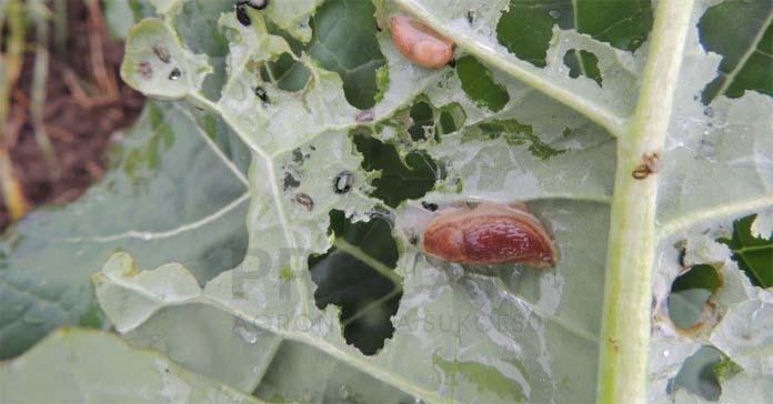 szkodniki, choroby, rolnice, ślimaki bezskorupowe, pluskwiaki, skoczki, łokaś garbatek, mszyce