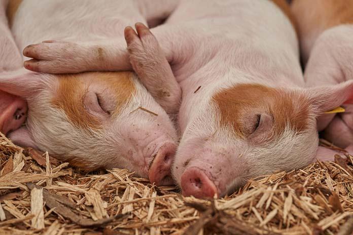 Producenci trzody chlewnej , świnie, trzoda chlewna, ceny świń, ceny tuczników, ASF, ASF w Chinach