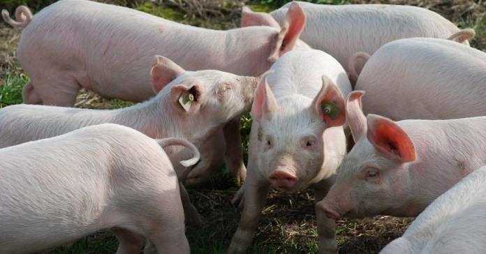 ASF, afrykański pomór świń, ceny wieprzowiny, hodowcy trzody chlewnej, rynek mięsa, koronawirus