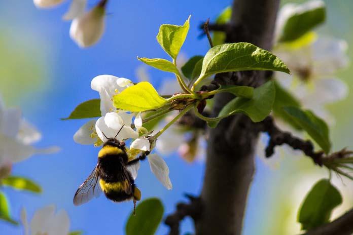 neonikotynoidy, klotianidyna, rzepak, pszczoły, trzmiele