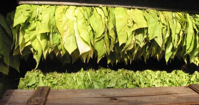 Rolnicy żądają wsparcia dla branży tytoniowej w ramach WPR