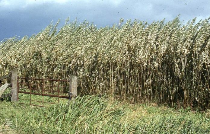 Wierzba energetyczna, rolnictwo, susza, biomasa