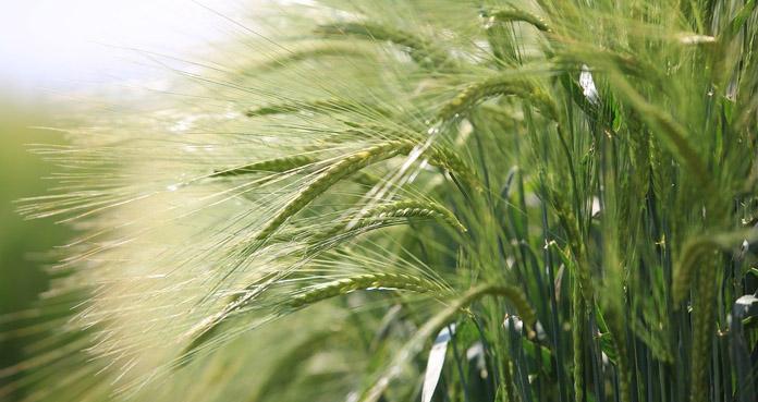 Nawożenie – kluczowe dla plonowania zbóż