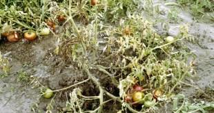 Fusarium wilt of tomato