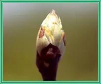 (Anonyme, 01)  Figure n° 05: Bourgeon à fleur