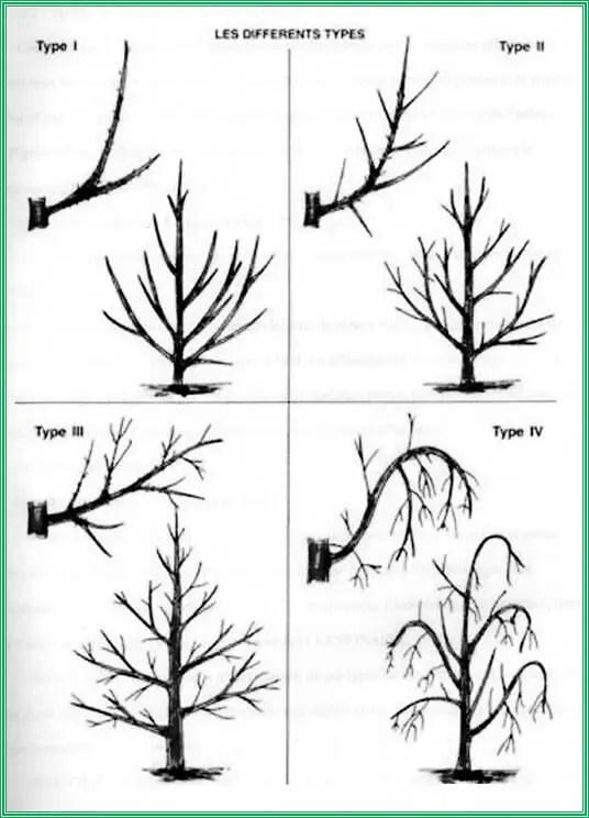 (CHARTON, 1992)  Figure n° 11: Types de fructification chez le pommier