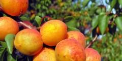 Les exigences agro-écologiques de l'abricotier