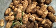 Maladies et ravageurs de la pomme de terre