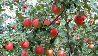 Exigences climatiques et édaphiques du pommier