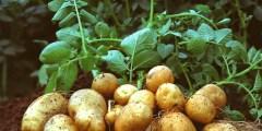 Les exigences agro-écologiques de la pomme de terre