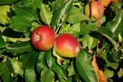 Contribution à l'étude du comportement de cinq variétés de pommier