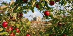 Importance de la culture du pommier en algerie