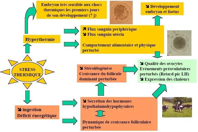 Figure 11 : Principaux mécanismes impliqués dans les effets négatifs d'un stress lié à laChaleur sur la fonction de reproduction. (Claire et al, 2003)