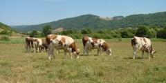 Les interrelations entre les performances de reproduction et de production laitière chez les vaches