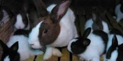 Elevage du lapin de chair