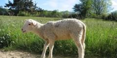 Croissance globale de l'agneau
