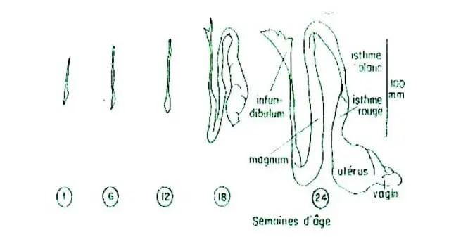Fig. N° 1 : Développement schématique de l'ovaire et oviducte chez la poulette(SAUVEUR, 1988)
