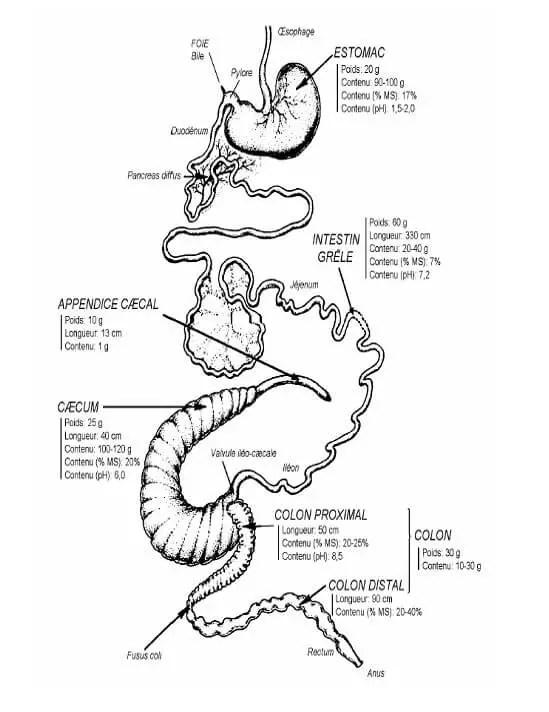 Figure N°3 : anatomie de l'appareil digestif du lapin (valeur moyenne pour un lapin NéoZélandais blanc de 2.5 kg, nourri à volonté avec un aliment granulé équilibré (LEBAS, 1997).