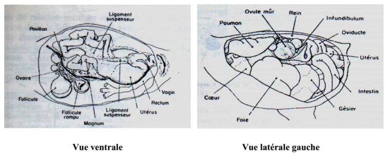 Fig. N° 2 : Situation de l'appareil reproducteur femelle dans la cavité abdominale(SAUVEUR, 1988).