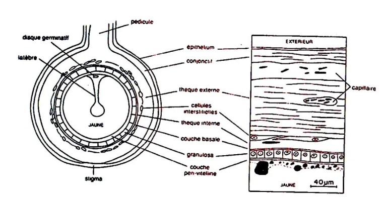 Fig. N°4 : Structure de la paroi d'un follicule en phase d'accroissement rapide (SAUVEUR, 1988).