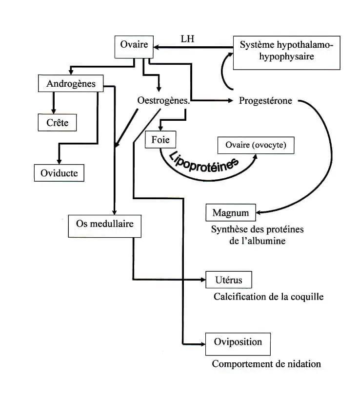 Fig. N° 5 : Contrôle hormonal (SAUVEUR, 1988).