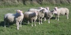 systèmes d'élevage ovins