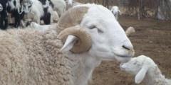 Races ovines en Algérie