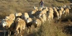 Evaluation de paramètres de reproduction d'un cheptel ovin race Rumbi