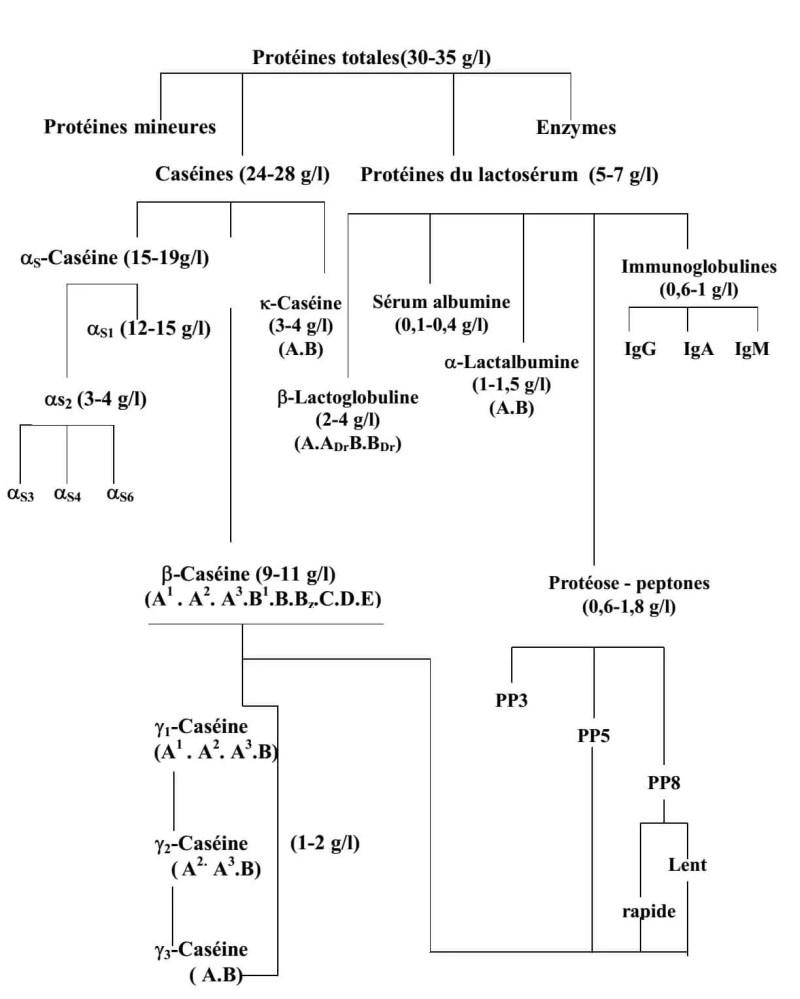 Figure 1 : Composition de la fraction protéique du lait de vache, d'après SWAÏSGOOD (1982).