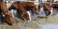 Engraissement des vaches de réforme