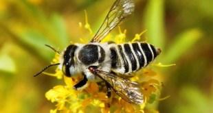 Biogéographie des Megachilidae