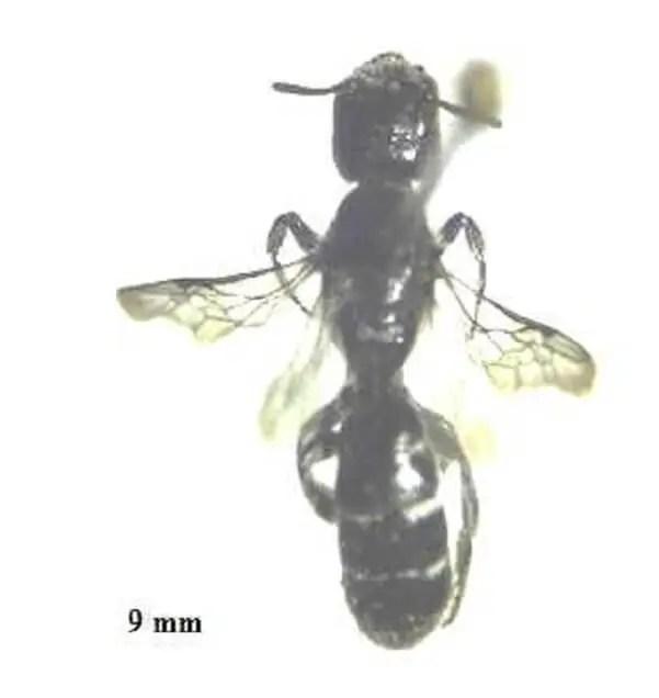 Figure 10. Genre Chelostoma avec un corps mince et cylindrique ( Photographie originale)
