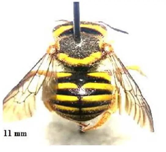 Figure 11. Aspect général d'un Anthidiini ; corps avec des taches jaunes (Photographie originale)