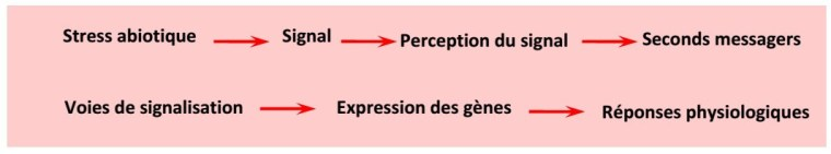 Figure 17 : La voie de transduction d'un signal de réponse à un stress abiotique chez la plante (d'après: Roeder, 2006)
