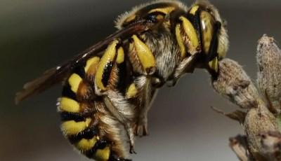 Bioécologie des Megachilidae