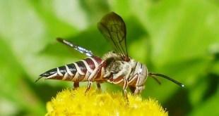 Systématique de la famille des Megachilidae