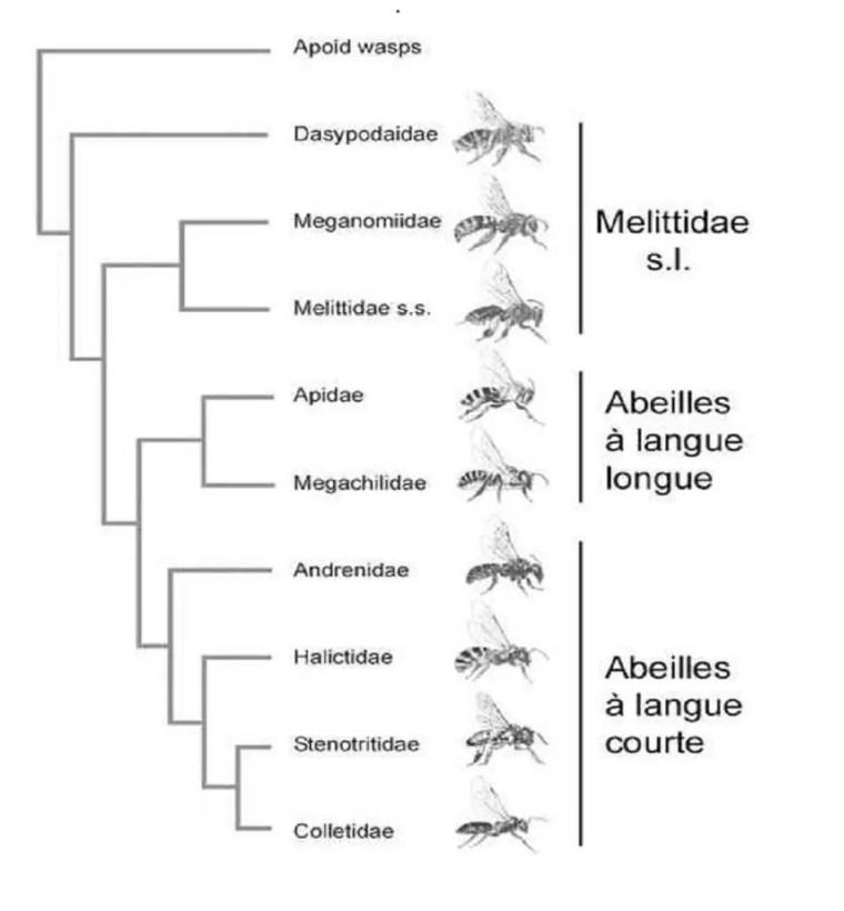 Figure 14. Phylogénie des Apoïdes basée sur la morphologie des adultes et le séquençage de 5 gènes d'après (Danforth et al., 2006).