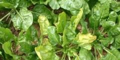 Pathologies fongiques des plantes