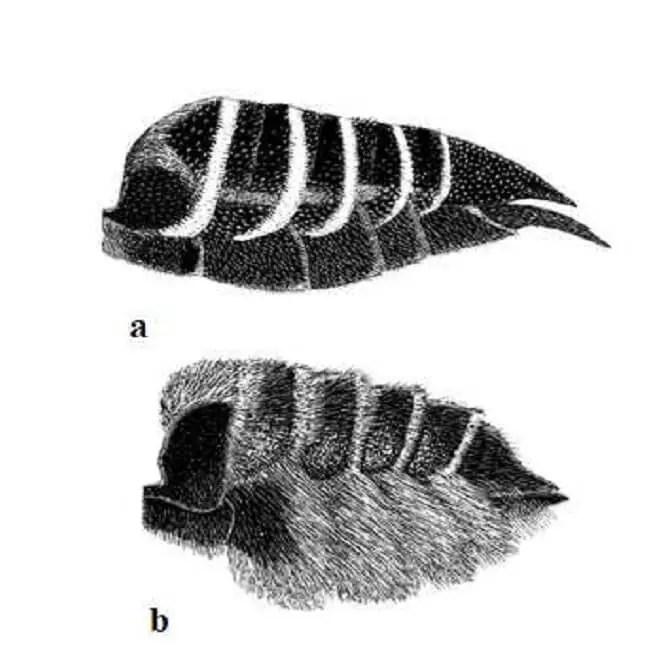 Figure 19. Vue de côté du Metasoma de Megachilinae femelle. (a) Le cleptoparasite Coelioxys octodentata (b) : son hôte, Megachile brevis. Notez la pilosité et en particulier la scopa ventrale (selon Michener, 2007).