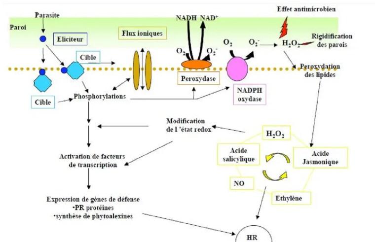 Figure 6 Schéma général des différents mécanismes de défense chez la plante, de laperception des éliciteurs du pathogène à l'activation des facteurs de transcription des gènesde résistance de la plante. Source: Delaggi, 2009.