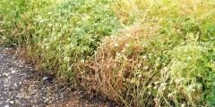 Les stress Biotiques ou principaux problèmes phytosanitaires de la lentille en Algérie