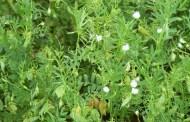 Caractéristiques écologiques et agronomiques de la lentille